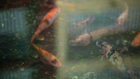 Peixes dourados na lagoa video estoque