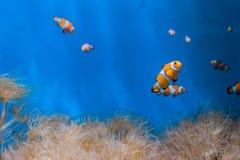 Peixes e anêmonas do palhaço em um fundo azul foto de stock royalty free