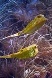 Peixes e anemonefish do chifre Fotos de Stock Royalty Free