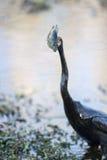 Peixes e Anhinga Imagens de Stock Royalty Free