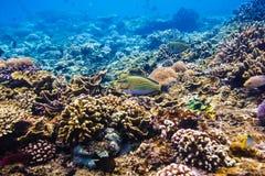 Peixes e corais tropicais no recife no Oceano Índico Imagem de Stock