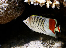Peixes e coral tropicais Foto de Stock Royalty Free