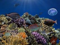 Peixes e medusa tropicais no Mar Vermelho Foto de Stock