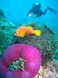 Peixes e mergulhador do Damsel Foto de Stock Royalty Free