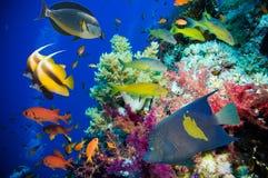 Peixes e recife de corais tropicais Fotos de Stock Royalty Free