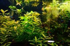 Peixes e vegetação do aquário Imagens de Stock Royalty Free