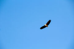 Peixes Eagle Imagem de Stock