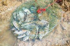 Peixes em redes de pesca Foto de Stock