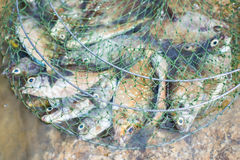 Peixes em redes de pesca Fotos de Stock Royalty Free