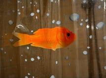 Peixes em seu chuveiro Fotos de Stock