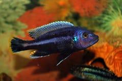 Peixes em um aquário imagem de stock royalty free