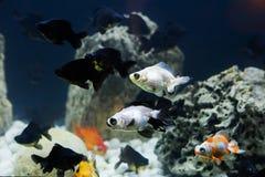 Peixes em um aquário de água doce Fotos de Stock Royalty Free