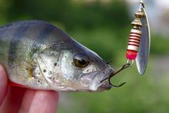 Peixes em um gancho Fotografia de Stock