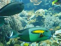 Peixes em um recife Foto de Stock Royalty Free