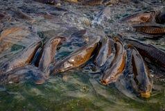 Peixes em uma lagoa imagens de stock