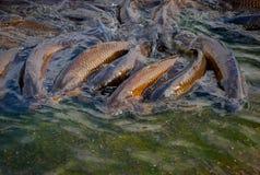 Peixes em uma lagoa Fotografia de Stock