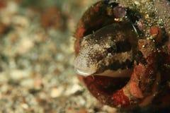 Peixes escondendo do blennie Fotografia de Stock