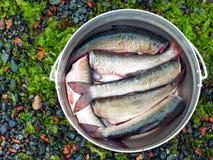 Peixes escovados frescos prontos para cozinhar no jogador Foto de Stock