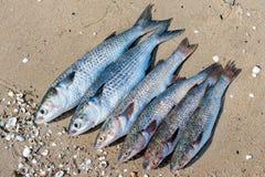 Peixes escovados prontos para cozinhar em uma areia úmida Fotografia de Stock