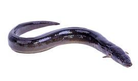 Peixes europeus da enguia Imagens de Stock