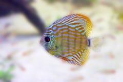 Peixes exóticos b Fotos de Stock Royalty Free