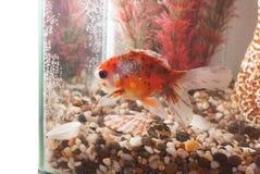 Peixes exóticos bonitos no aquário imagens de stock