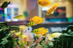 Peixes exóticos da cichlidae do aquário rebanho da natação alaranjada dos peixes do amarelo do mar no aquário Fotos de Stock Royalty Free