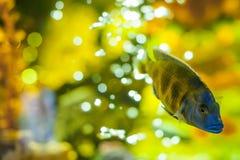 Peixes exóticos da cichlidae do aquário rebanho da natação alaranjada dos peixes do amarelo do mar no aquário Imagem de Stock