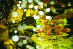 Peixes exóticos da cichlidae do aquário rebanho da natação alaranjada dos peixes do amarelo do mar no aquário Fotografia de Stock