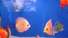 Peixes exóticos - disco de Symphysodon filme