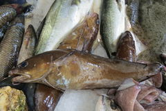 Peixes exóticos do mar de adriático Imagens de Stock Royalty Free