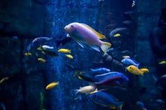 Peixes exóticos em um aquário Fotos de Stock Royalty Free