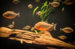 Peixes exóticos em um aquário Fotos de Stock