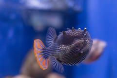 Peixes exóticos no aquário Fotos de Stock