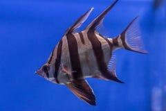 Peixes exóticos no aquário Imagem de Stock