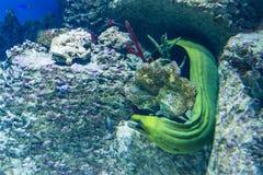 Peixes exóticos no aquário Imagens de Stock Royalty Free