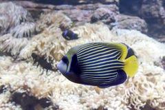 Peixes exóticos no aquário fotografia de stock royalty free