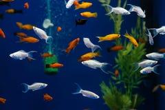 Peixes exóticos pequenos no aquário Imagem de Stock Royalty Free
