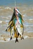 Peixes exóticos travados Fotos de Stock Royalty Free