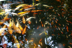Peixes exóticos tropicais subaquáticos Um curso de China Fotografia de Stock