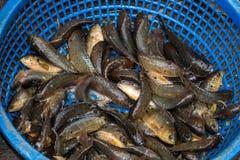 Peixes expostos em uma lata do azul Fotografia de Stock