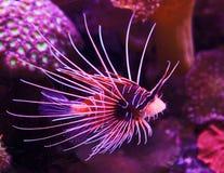 Peixes exóticos no recife coral Foto de Stock Royalty Free