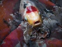 Peixes extravagantes coloridos bonitos da carpa Foto de Stock