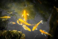 Peixes extravagantes coloridos da carpa ou peixes do koi Natação dos peixes de Koi na lagoa Fotografia de Stock Royalty Free