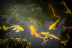 Peixes extravagantes coloridos da carpa ou peixes do koi Natação dos peixes de Koi na lagoa Imagens de Stock