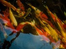 Peixes extravagantes coloridos da carpa, peixes do koi Imagem de Stock