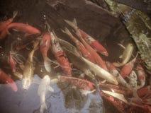 Peixes extravagantes coloridos da carpa, peixes do koi vintage Imagem de Stock