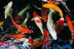 Peixes extravagantes da carpa Foto de Stock