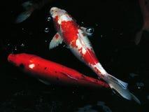 Peixes extravagantes da carpa na lagoa Foto de Stock