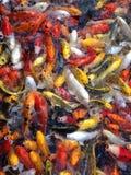 Peixes extravagantes da carpa, peixes do koi Imagens de Stock